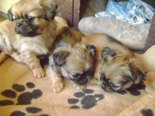 Pekines cachorros disponibles