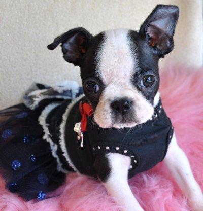 Boston terrier cachorros disponibles