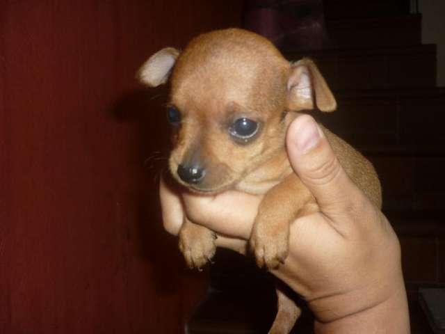 Cachorritos pinscher miniatura para la venta 3216781421 whatsapp.