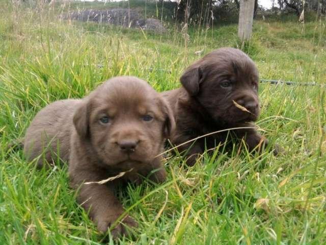 Garantizados cachorros de labrador chocolate para la venta 3216781421 whatsapp.