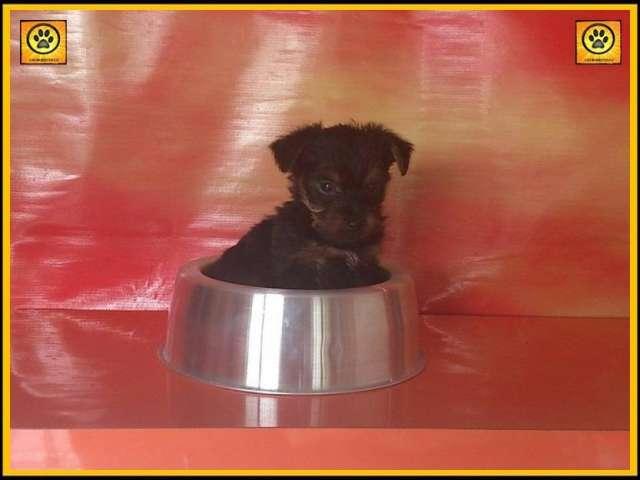 No te dejes engañar, originales york shire terrier mini garantizados