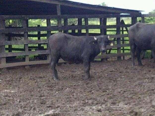 Vendo búfalos de dos años machos 3203457079