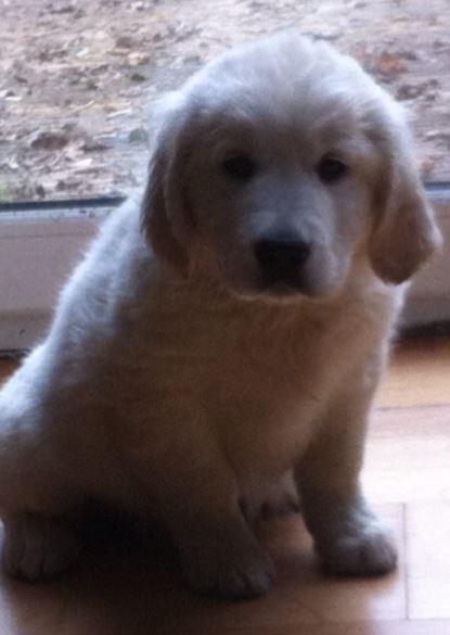 Criadero golden retriver puros golden colombia en venta cachorros golden