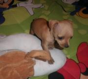 Simpaticos cachorros pincher miniatura