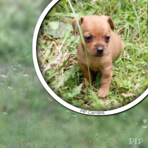 Hermosos miniatura pincher cachorros